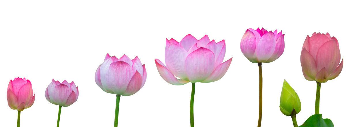 lotus ouverture