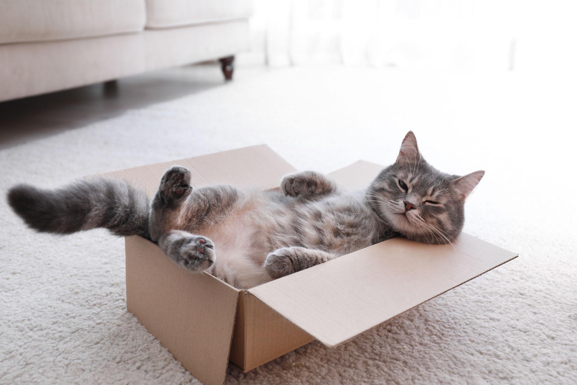 gato en un caja durmiendo