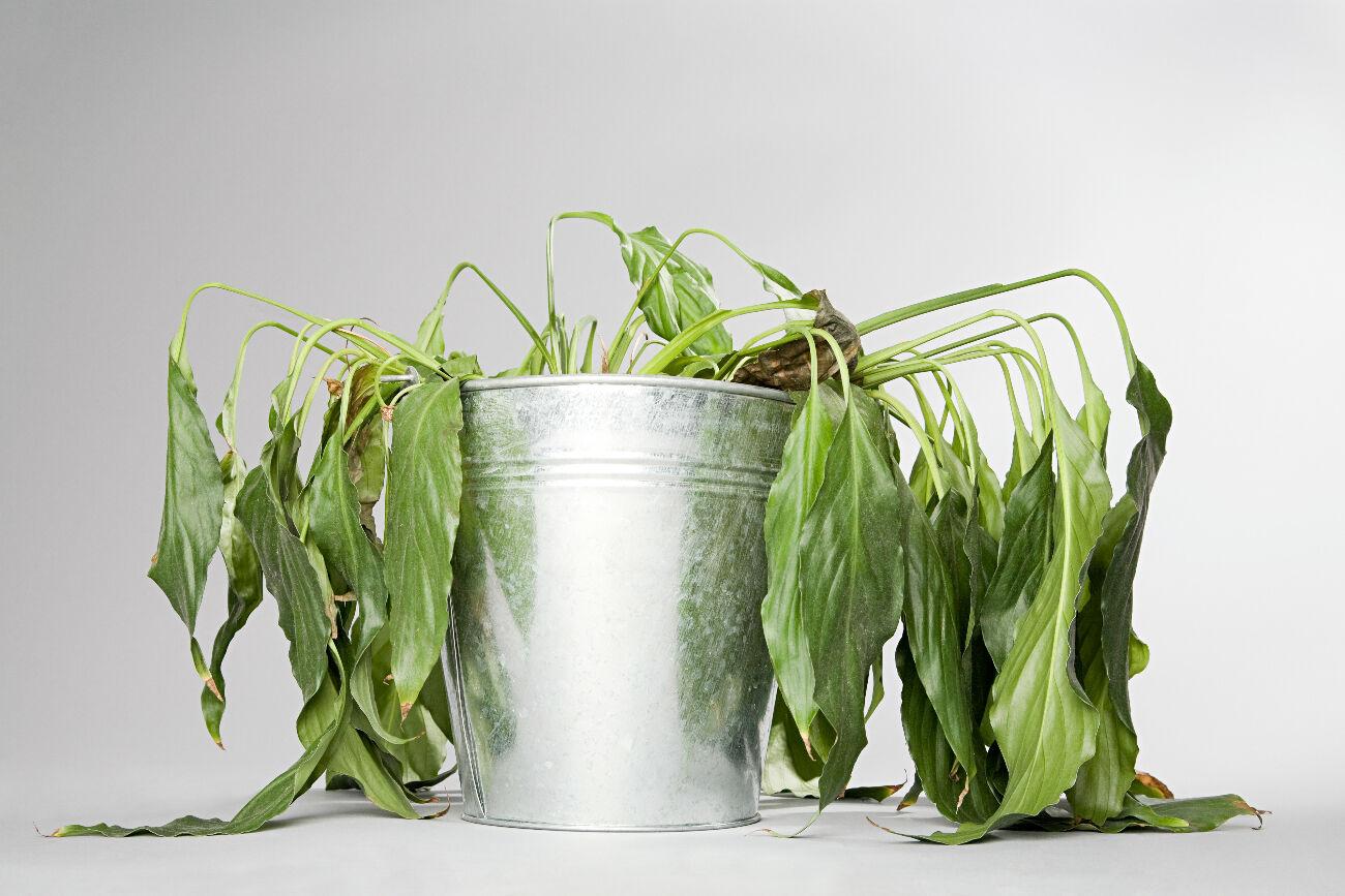 Plante morte : 8 astuces imparables pour la faire revivre
