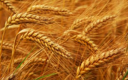 blé phytothérapie